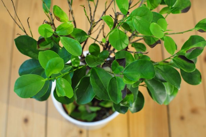 ficus microcarpa moclame bekommt braune blattr nder ikea. Black Bedroom Furniture Sets. Home Design Ideas