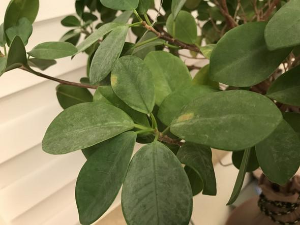 Ficus microcarpa moclame kriegt wei e flecken for Fliegen zimmerpflanzen