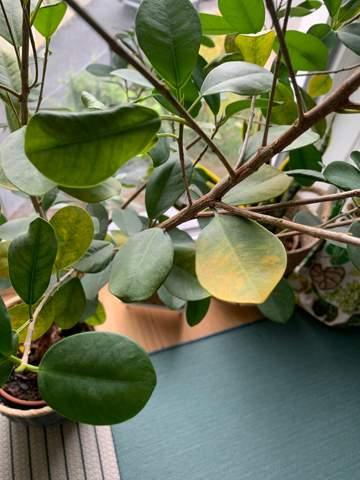 Ficus verliert seine Blätter. Wie kann ich ihn retten?