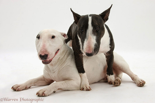 findet ihr auch das bullterrier die sch nste hunde rasse. Black Bedroom Furniture Sets. Home Design Ideas