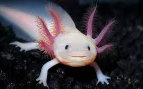 Will you find Axolotl Cute?