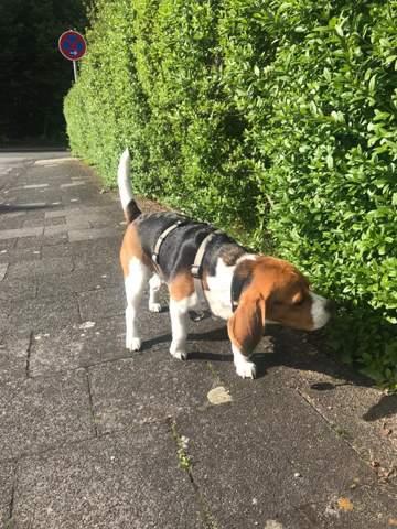 Findet ihr meinen Beagle zu dick?