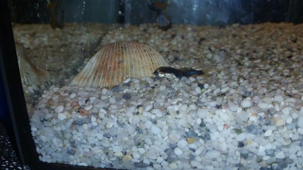 Fisch mit verkrümmung - (Tiere, Fische, Aquarium)