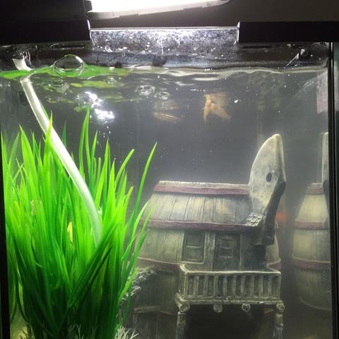 Oberfläche  - (Fische, Aquarium, zebrabaerbling)