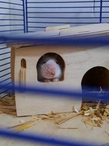 - (Tiere, Haustiere, Hamster)