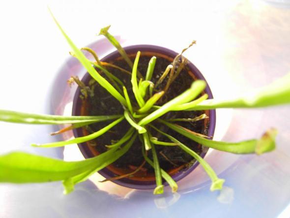 noch mal - (Pflege, Pflanzenpflege, Fleischfressende Pflanzen)