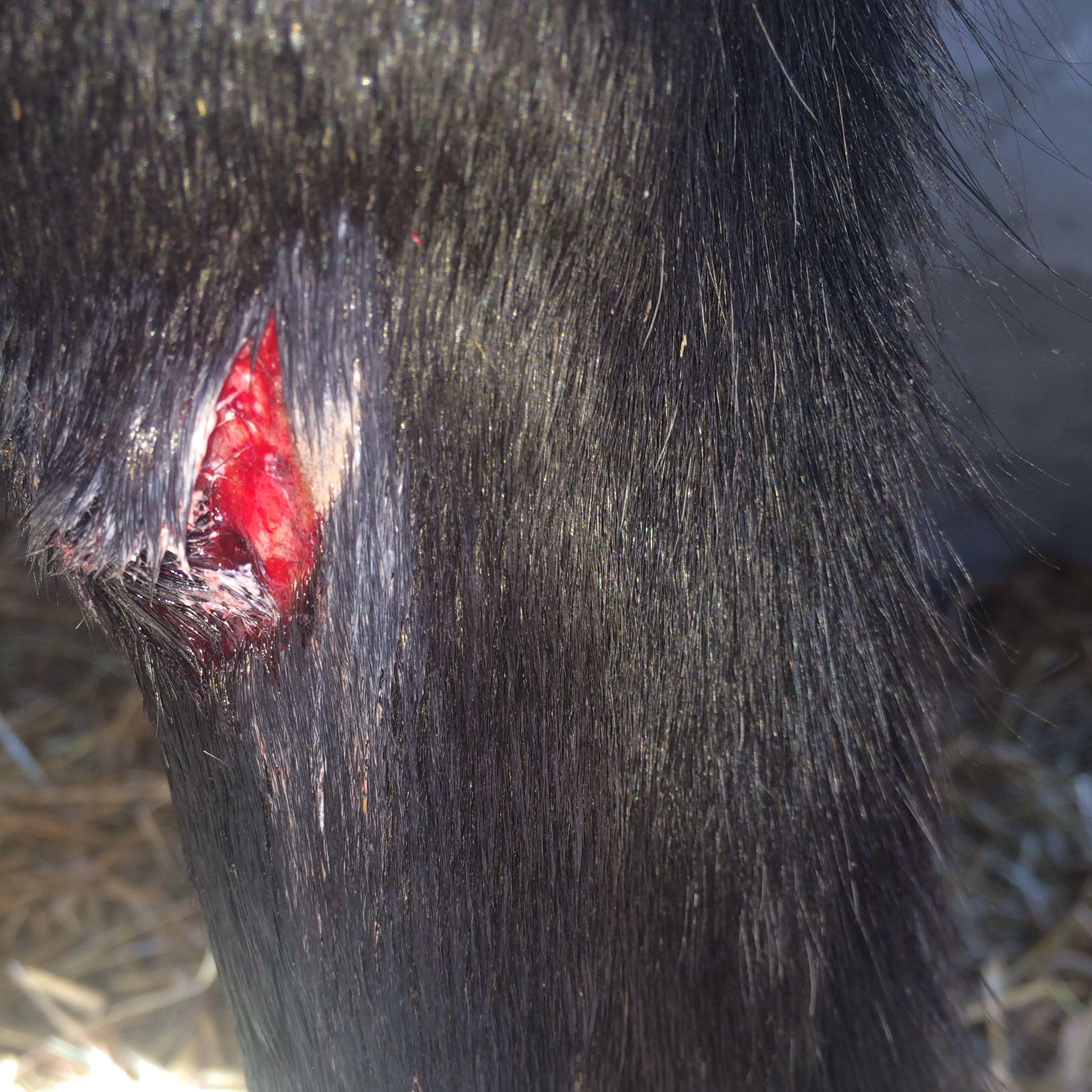fleischwunde beim pferd behandeln pferde verletzung. Black Bedroom Furniture Sets. Home Design Ideas