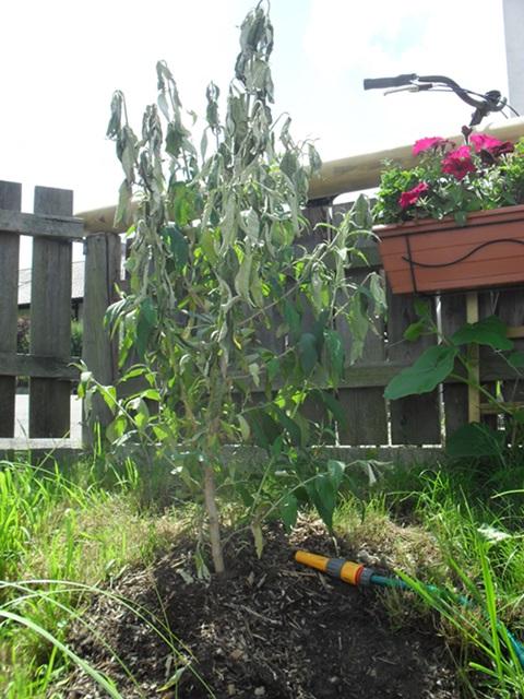 flieder umgepflanzt was nun garten. Black Bedroom Furniture Sets. Home Design Ideas