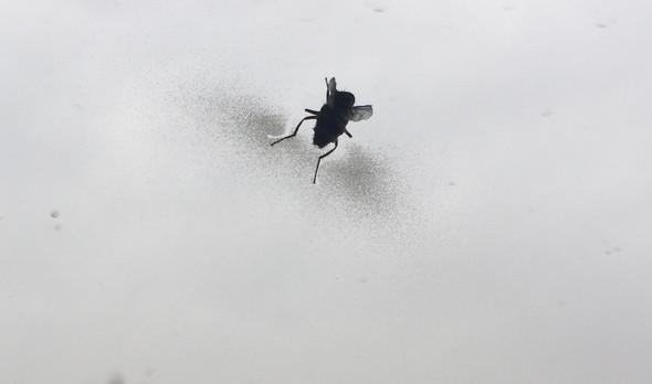 Fliege 2 - (Krankheit, fliegen, Insekten)