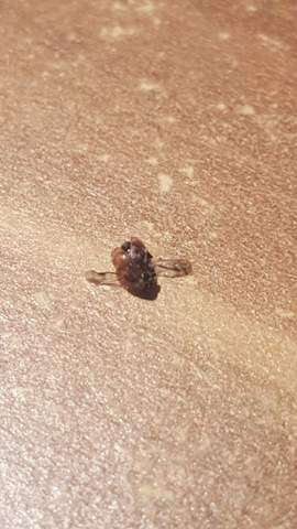 Fliegender Käfer braun gefleckt bestimmung?