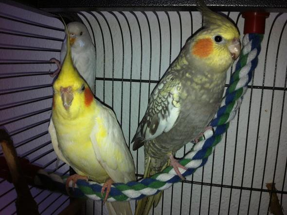 meine drei lieblinge - (Vögel, Wellensittich, Nymphensittich)