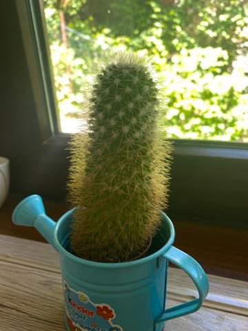 Flüssigkeit aus kaktus?