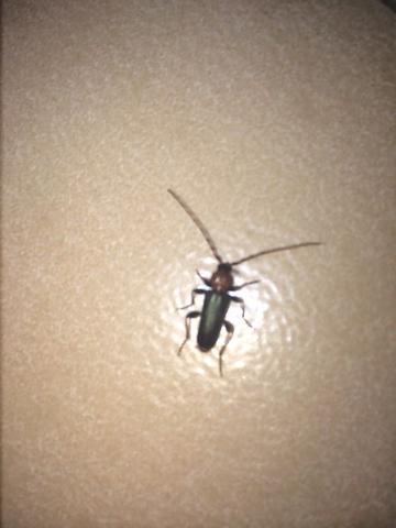 flugf higes insekt 1 5 cm 2 f hler gr ner k rper r tlicher kopf tiere biologie insekten. Black Bedroom Furniture Sets. Home Design Ideas