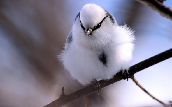 Meise - (Tiere, Vögel, Art)