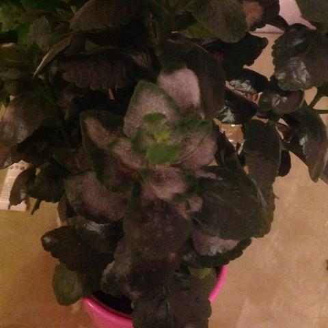 Frage wegen Pflanze, weißer Staub..? (Pflanzen, Blumen, weiss)