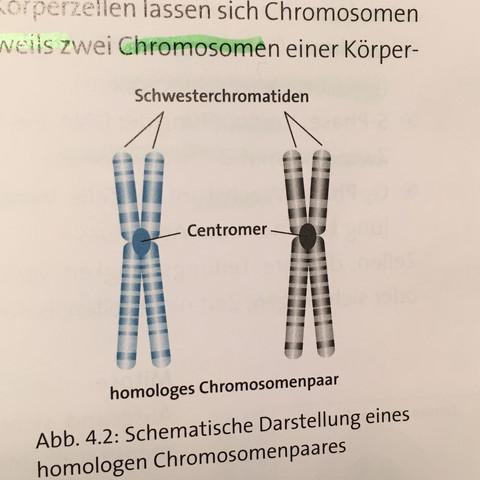 Schwesterchromatid Chromosom  - (Schule, Biologie, Genetik)
