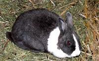 Holländer Häsin - (Schwangerschaft, Kaninchen, Rasse)