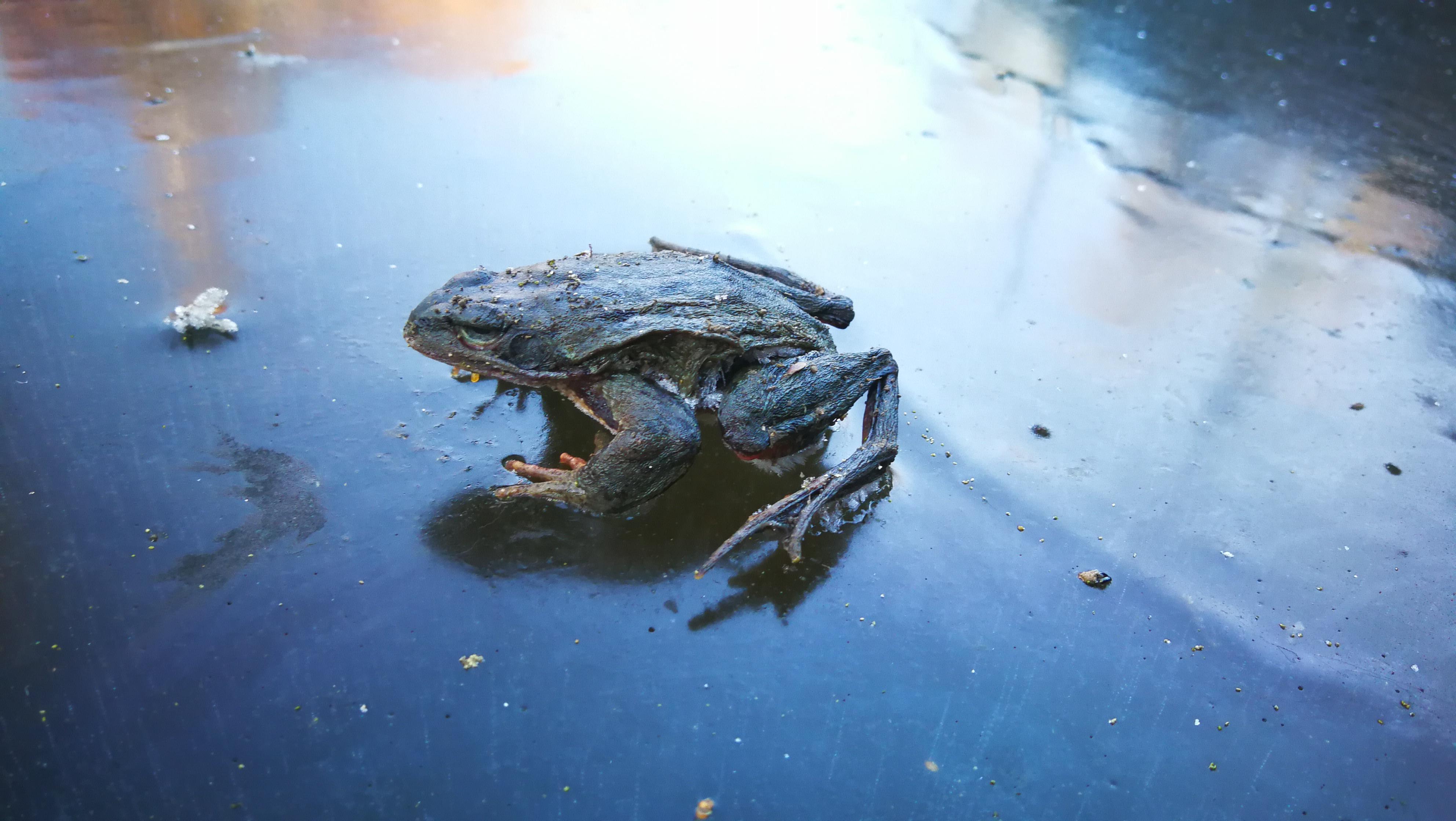 Wie Viele Flecken-Zwerge Hat Frosch?