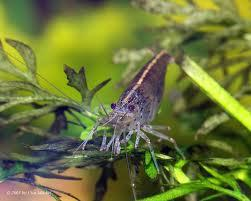 Ich habe in meinem jetzigen Aquarium sechs Algengarnelen - (kaufen, Aquarium, Aquaristik)