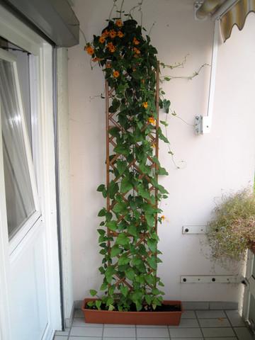 garten balkon pflanzen warum bl ht meine schwarz ugige. Black Bedroom Furniture Sets. Home Design Ideas