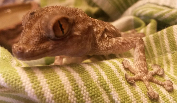 Gecko gefunden? Welche Art?