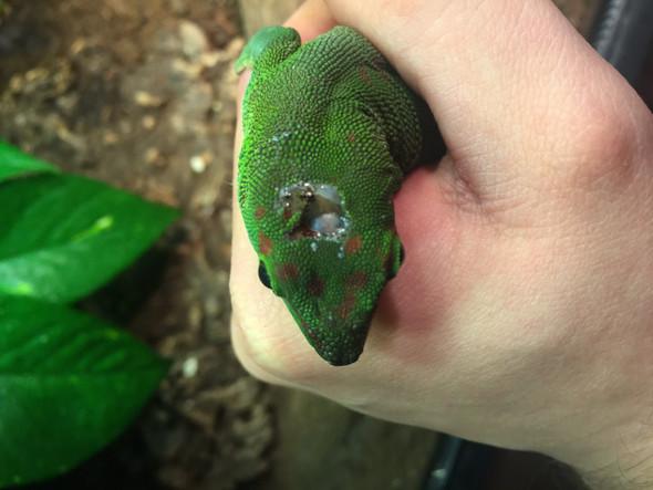 Dort sieht man es deutlich  - (Natur, Gecko, Madagaskar)