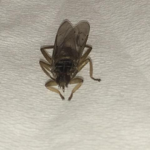 es ist etwas kleiner als eine fliege - (Insekten, Fliege, Insektenstich)