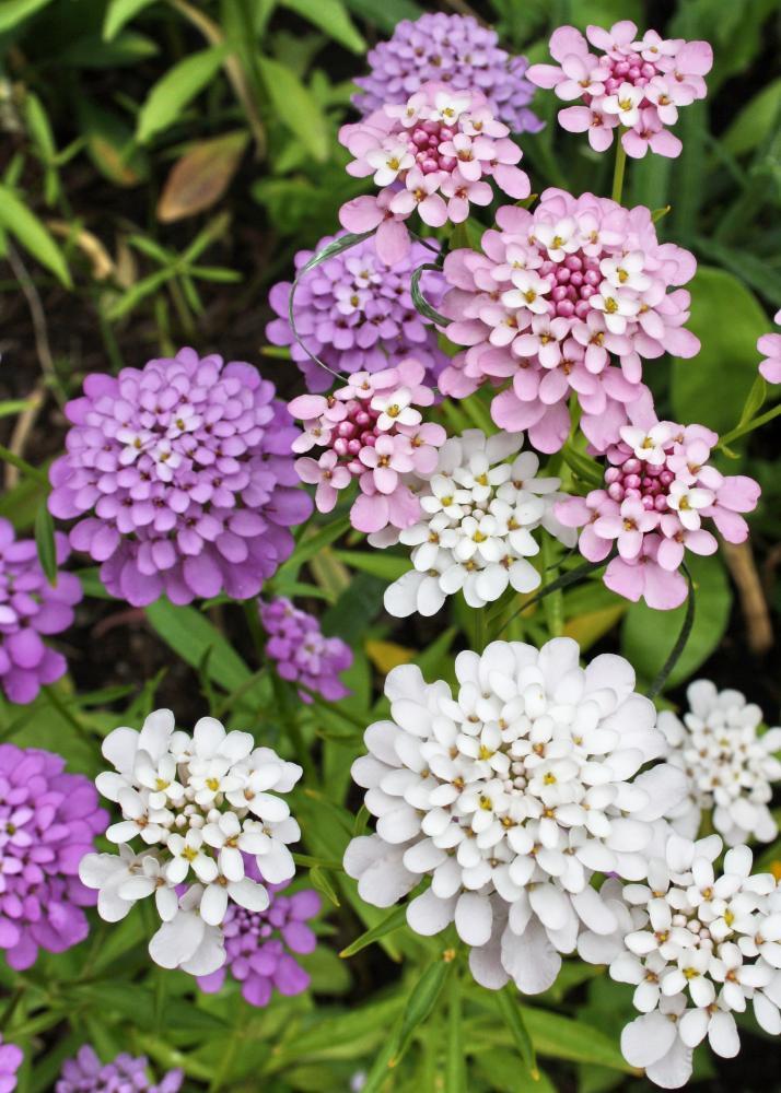 Geheimnisvolle blume haus garten pflanzen for Garten pflanzen blumen