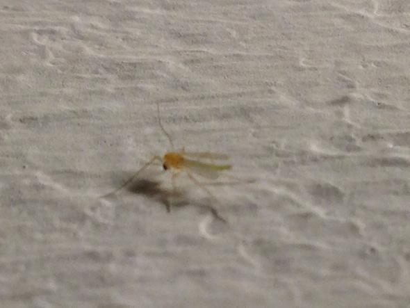 Mücke - (Wohnung, Haushalt, Insekten)