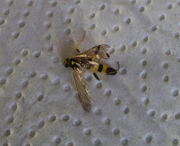 Was für eine Mücke ist das?  - (Tiere, Biologie, Art)