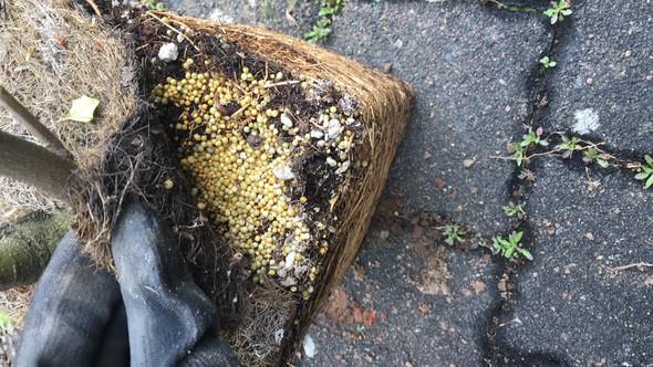 Gelbe Kugeln in der Pflanzenerde..was ist das?