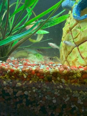 Geschlecht bei Babyfisch erkennen?