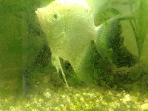 Skalar - (Fische, Aquarium, Aquaristik)