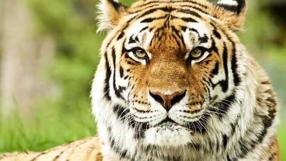 Tiger - (Gesicht, Bildbearbeitung, tiger)