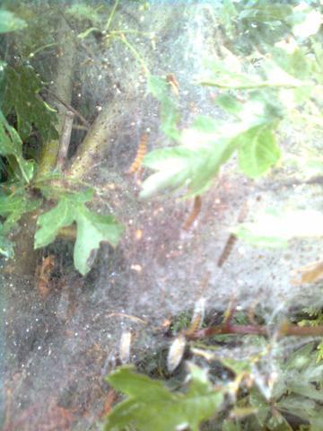 raupen art gattung - (Natur, raupe, gespinnst)