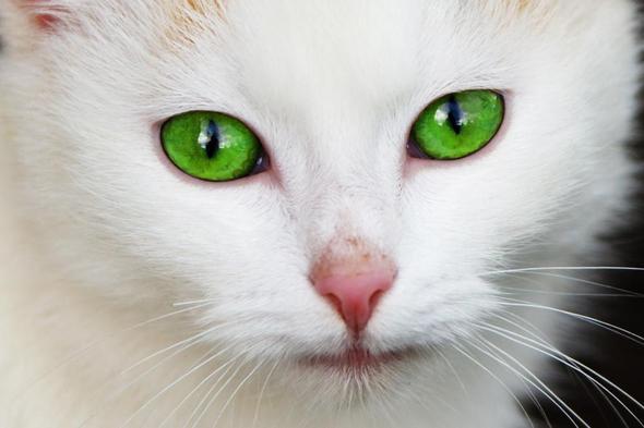 Katze mit grünen Augen - (Tiere, Katze, Haustiere)