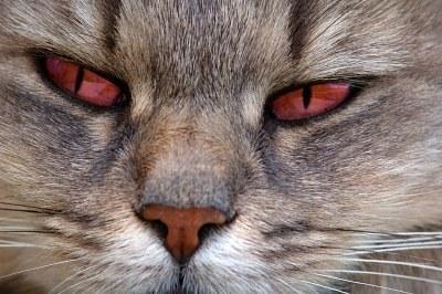 Katze mit roten Augen - (Tiere, Katze, Haustiere)
