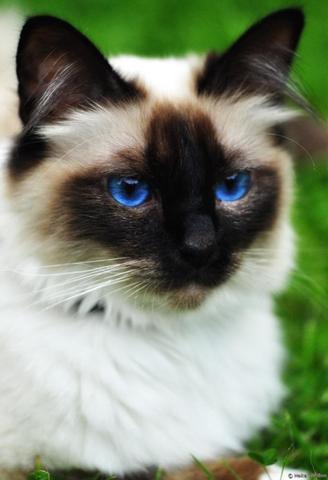Birma-Katze - (Tiere, Augen, Katze)