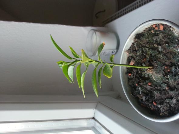 mein Baum - (Pflanzen, Baum, Mandarinen)