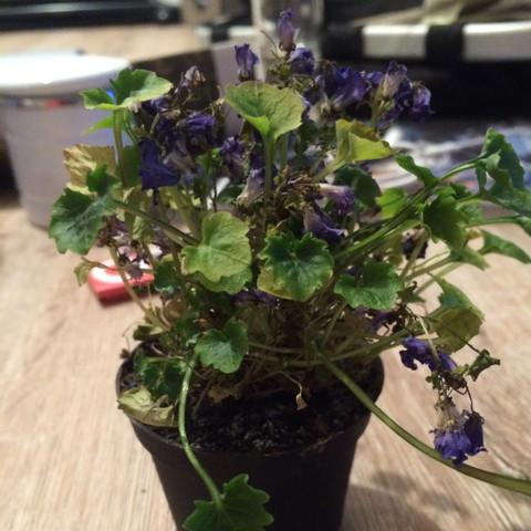 Glockenblume - (Pflanzen, Glockenblume)