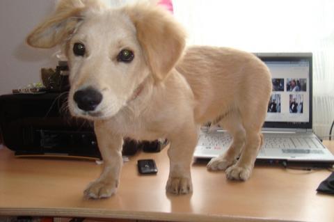 golden retriever dackel mischling hund