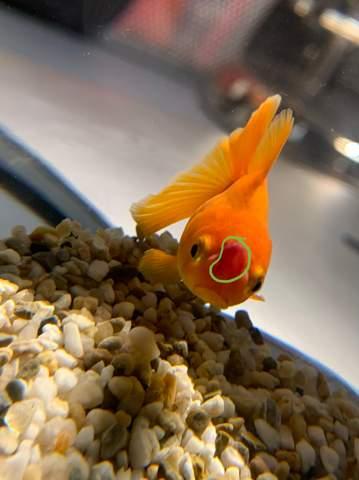 Goldfisch hat komischen roten / weißen fleck?