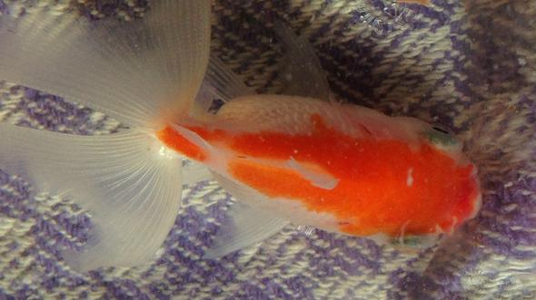 goldfisch hat pickel am mund krankheit krank fische. Black Bedroom Furniture Sets. Home Design Ideas