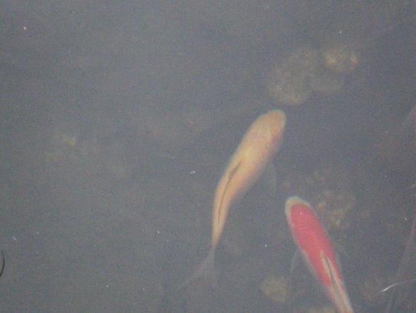 Goldfisch (der hautfarbene) - (Krankheit, Fische, Tierarzt)