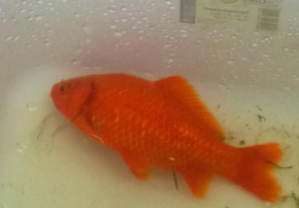 Goldfisch Liegt Seit Einer Woche Auf Der Seite Was Tun Krankheit