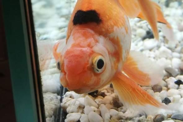 Goldfisch schwarzer Fleck und angeschwollenes Gesicht?