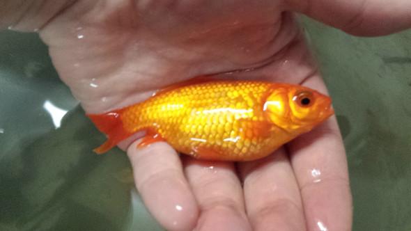 Goldfische tr chtig oder krank teich for Goldfische gartenteich