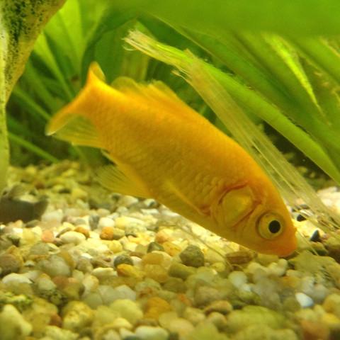 Das ist einer der 4 Goldfischen - (Fische, Aquarium, Warmwasser)