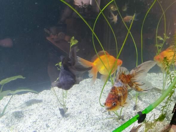 Goldfische Nachwuchs?