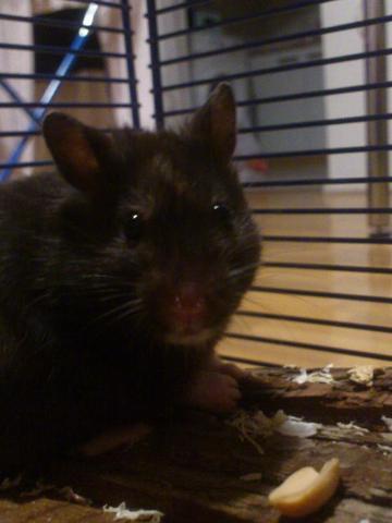 Yuna - (Hamster)